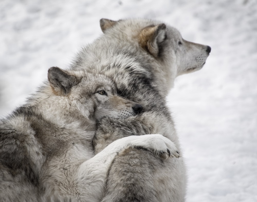 Wolves hugging each other