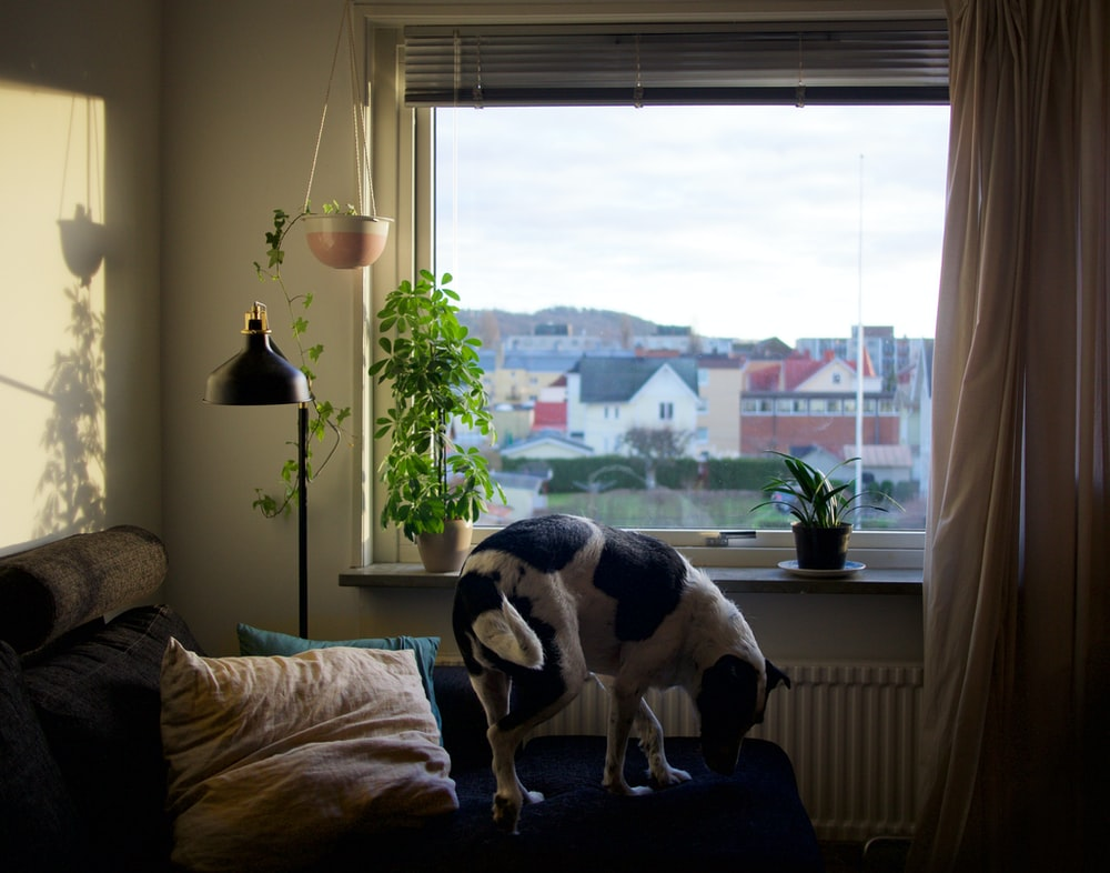 adult black and white dog on blue bed