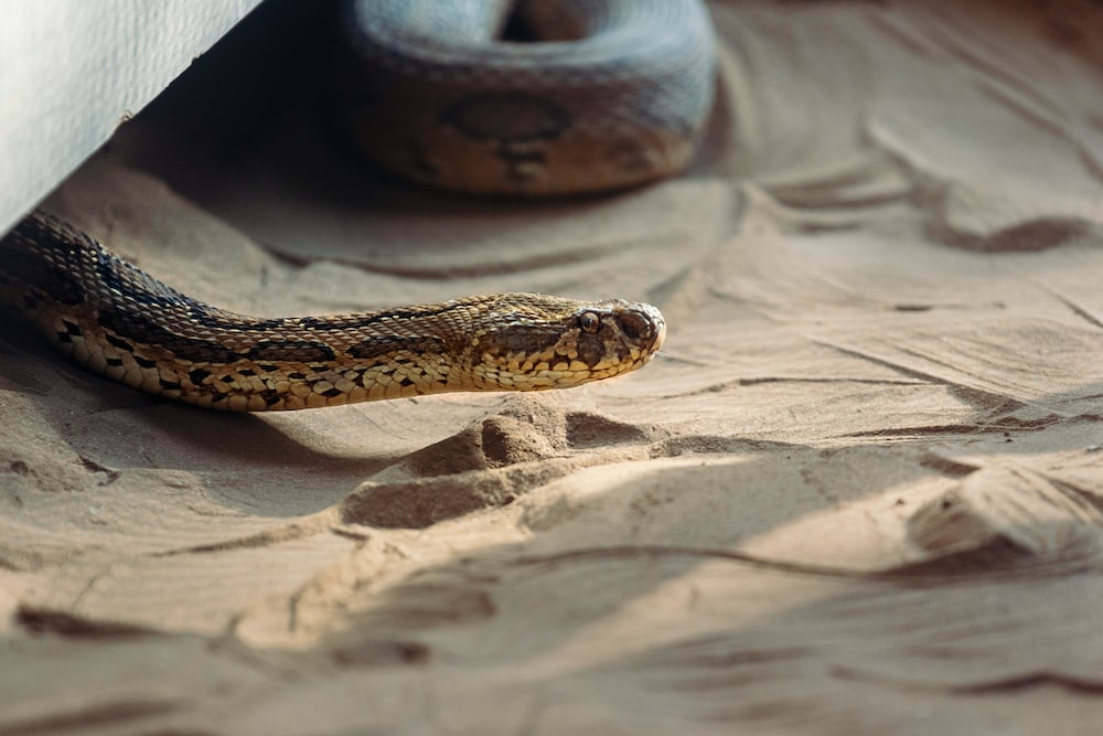 brown snake crawling in the sand