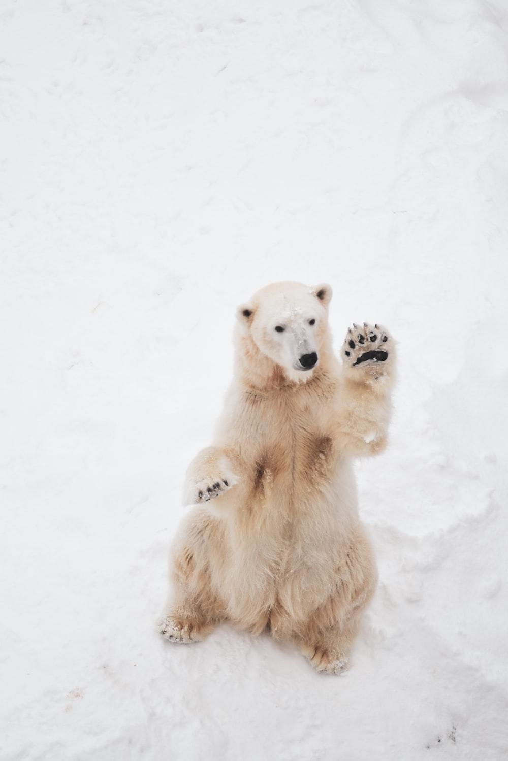 brown bear on snowfield