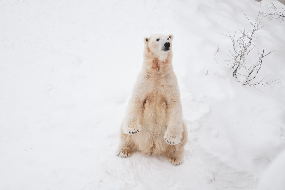 polar bear standing on snow