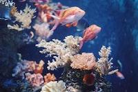 blue and orange fish in fish tank