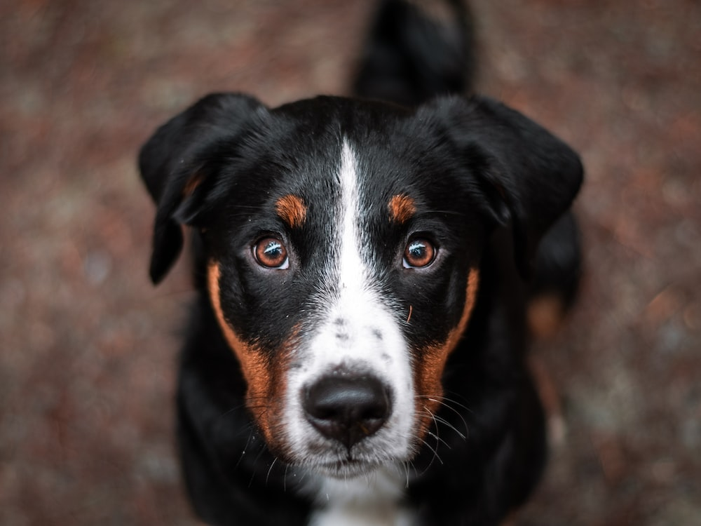 close view of black and white dog