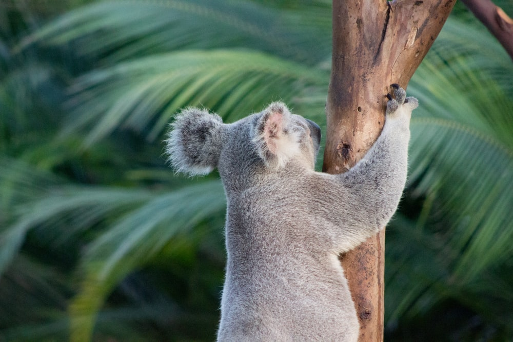 koala bear on tree trunk