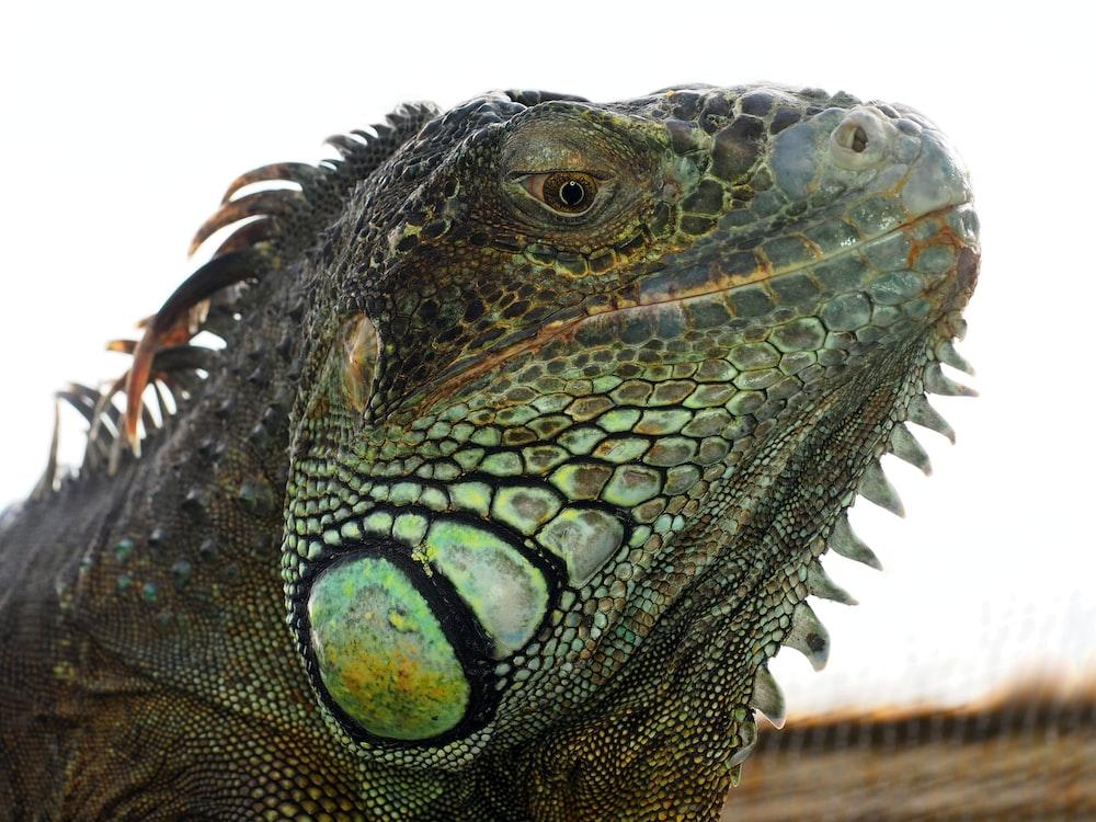 close-up photography of iguana