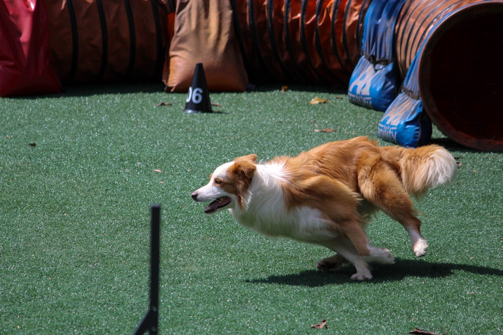 tan and white Border collie running