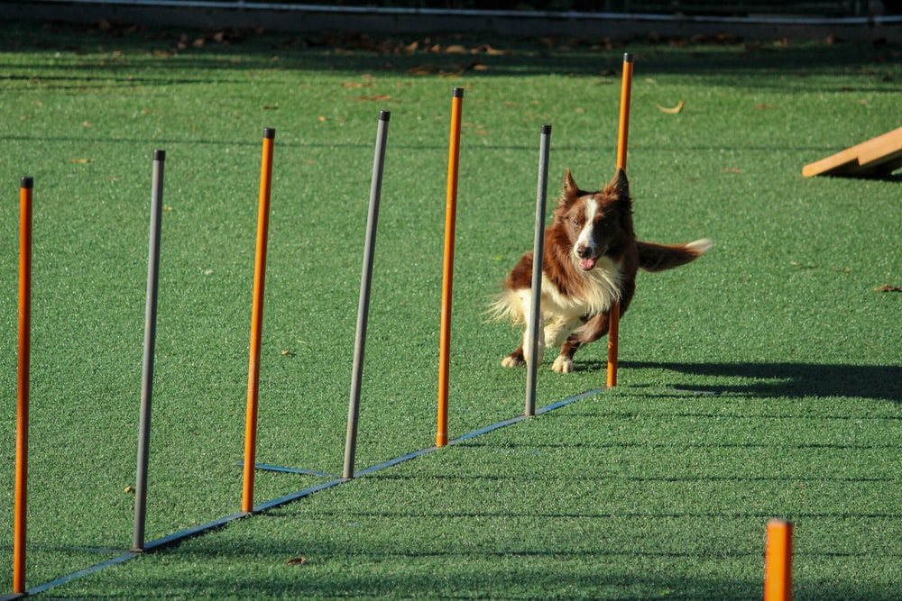 brown and white dog running through pole obstacles