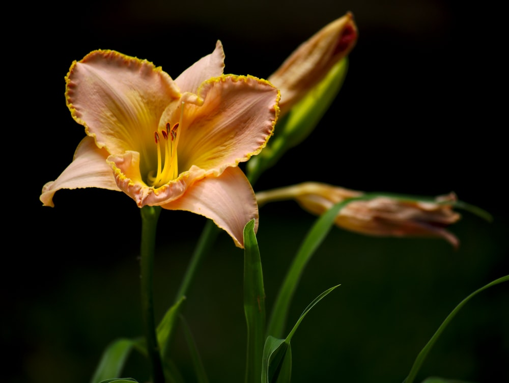 orange tiger lily flower