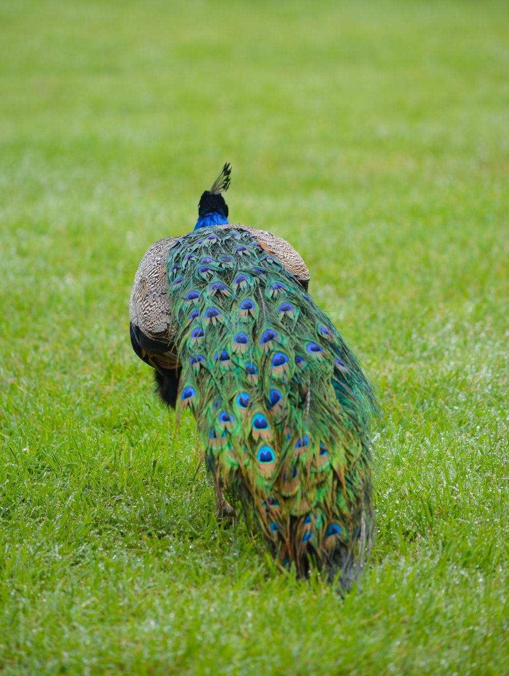 selective focus photography of Indian peafowl on green grass field