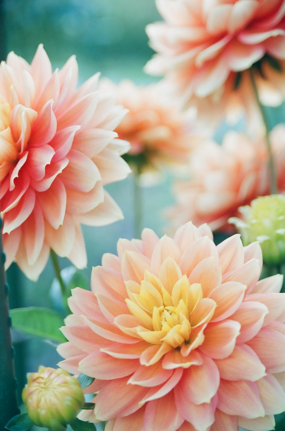 pink dahlia flowers in focus photography