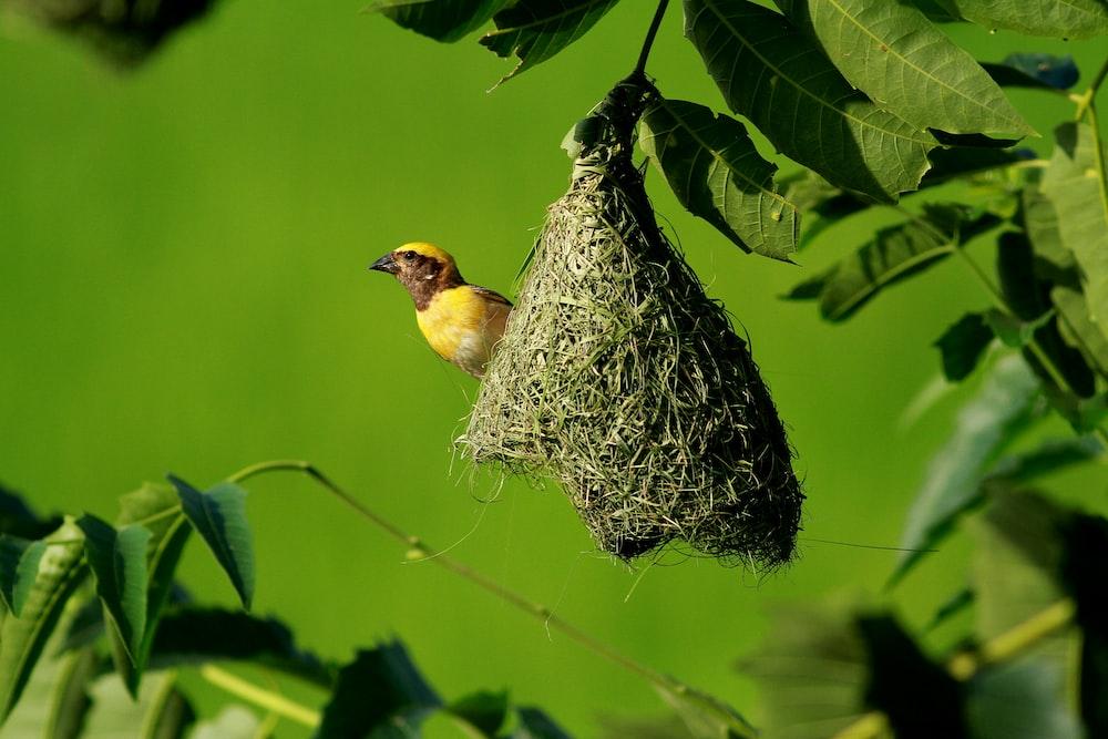 yellow weaver bird on nest