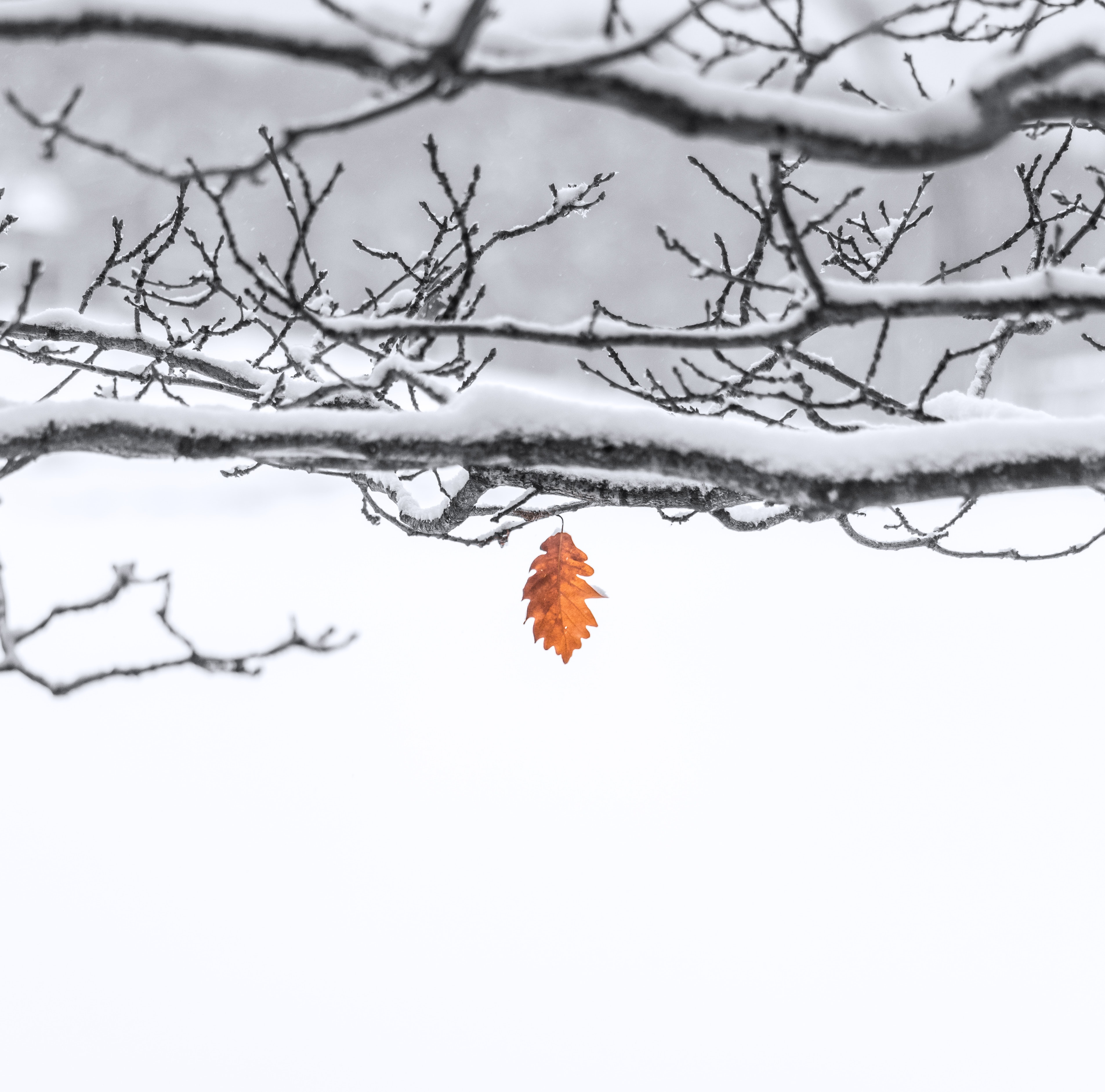 brown leaf on snow covered twig