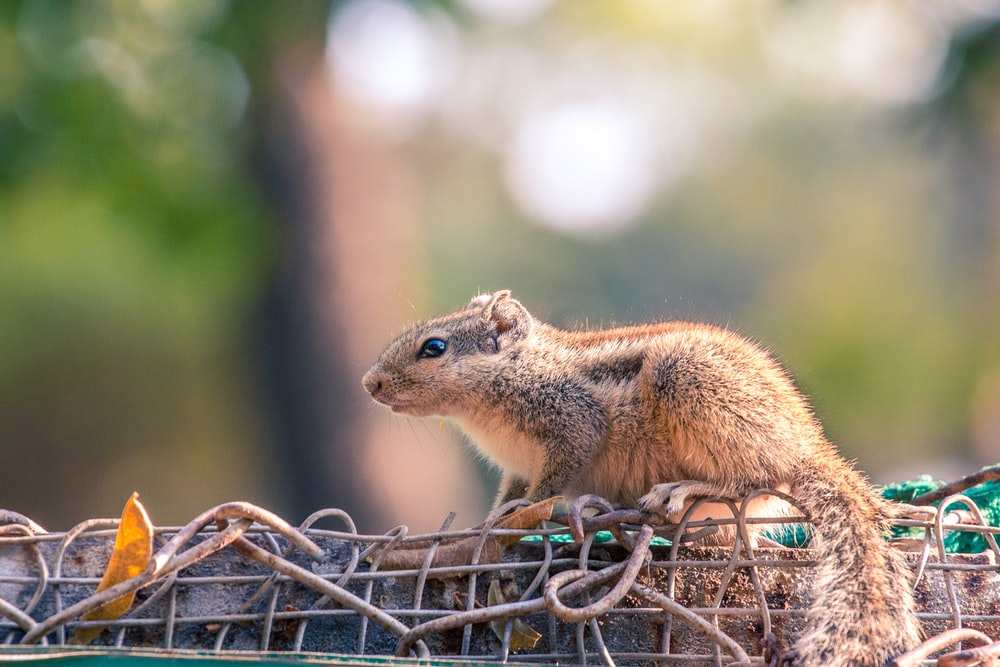 brown squirrel on fence