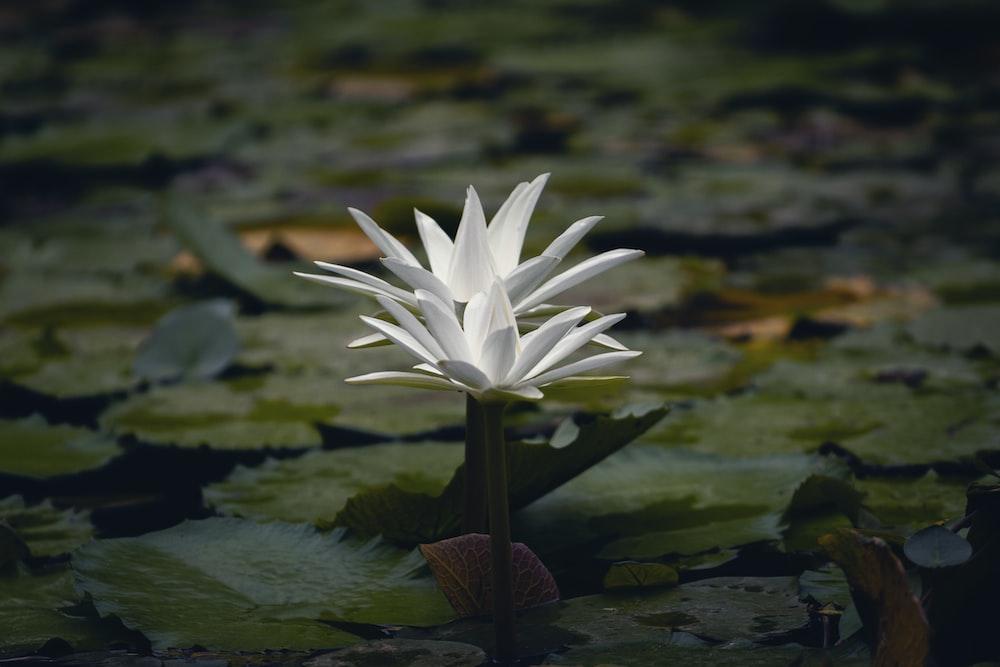 white waterlily flower
