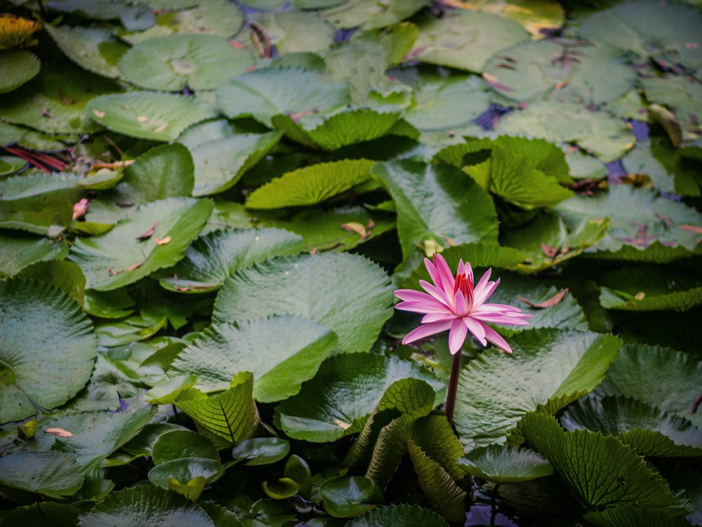 blossomed pink lotus flower during daytime
