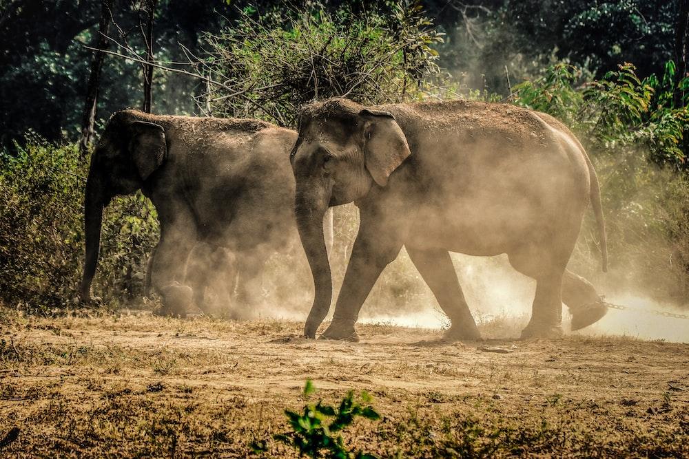 two gray elephants