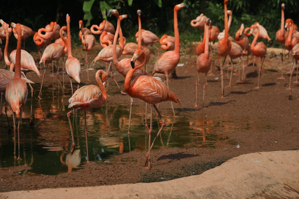 pink flamingos on brown land