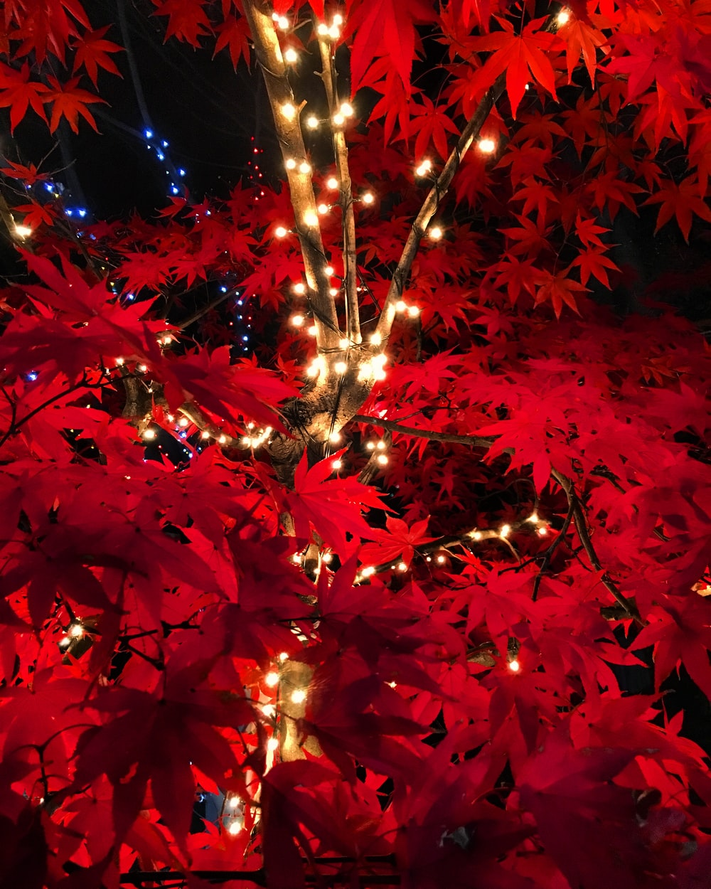 turned-on string lights on red pointsettia plant