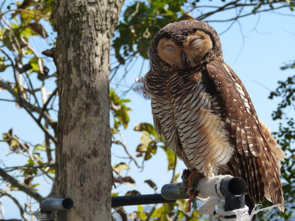 brown owl on tree trunk