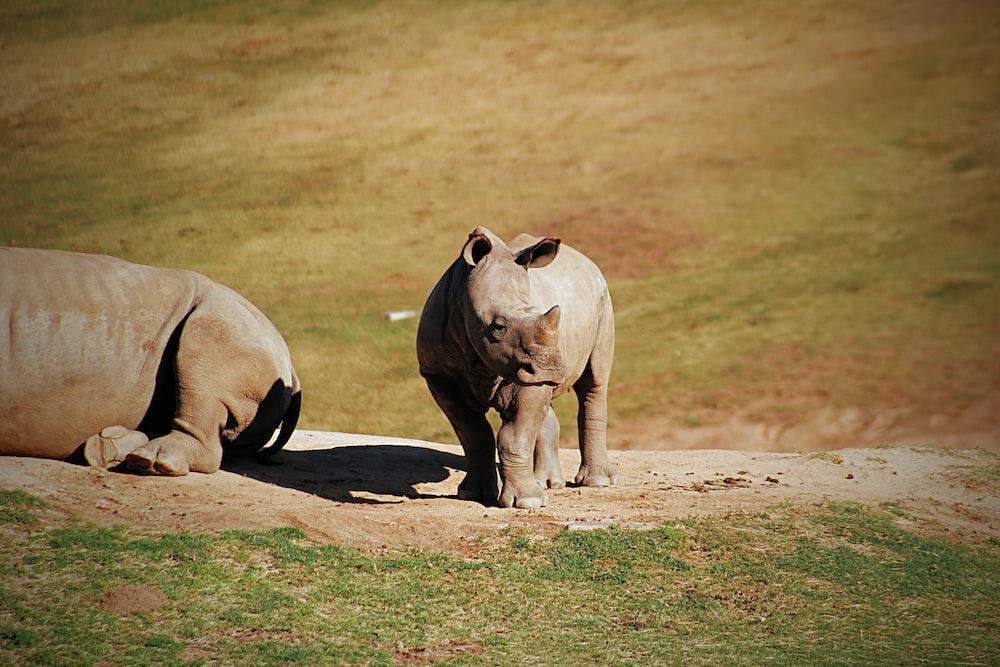 2 rhinoceros sun bathing