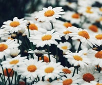 selective focus photography of daisy flower field