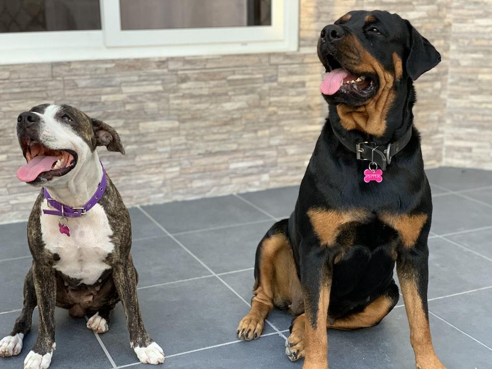 adult mahogany Rottweiler beside short-coat white and grey dog