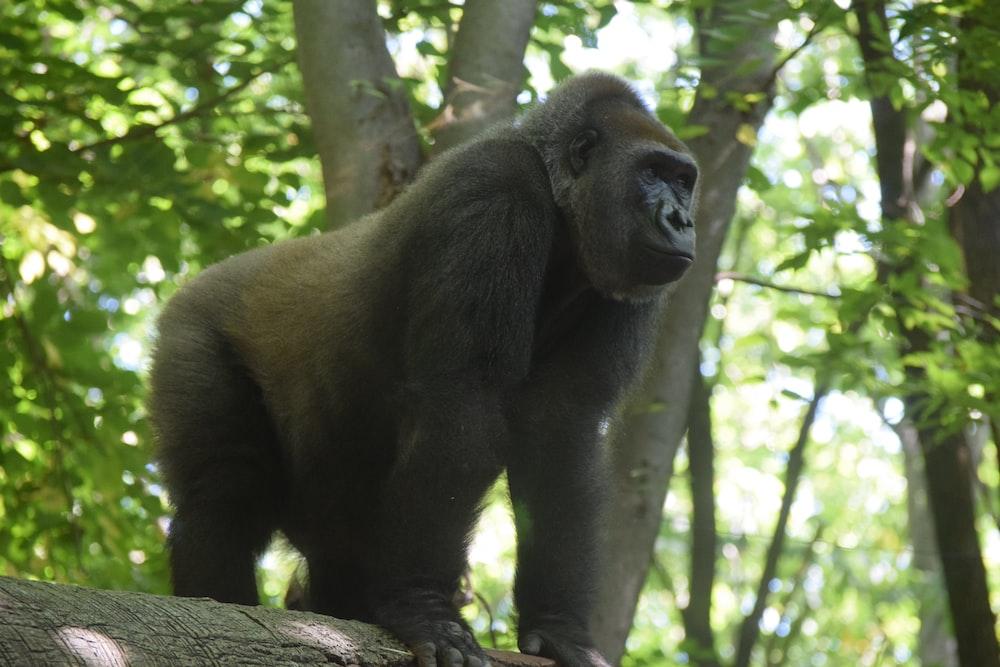 black Gorilla near tree