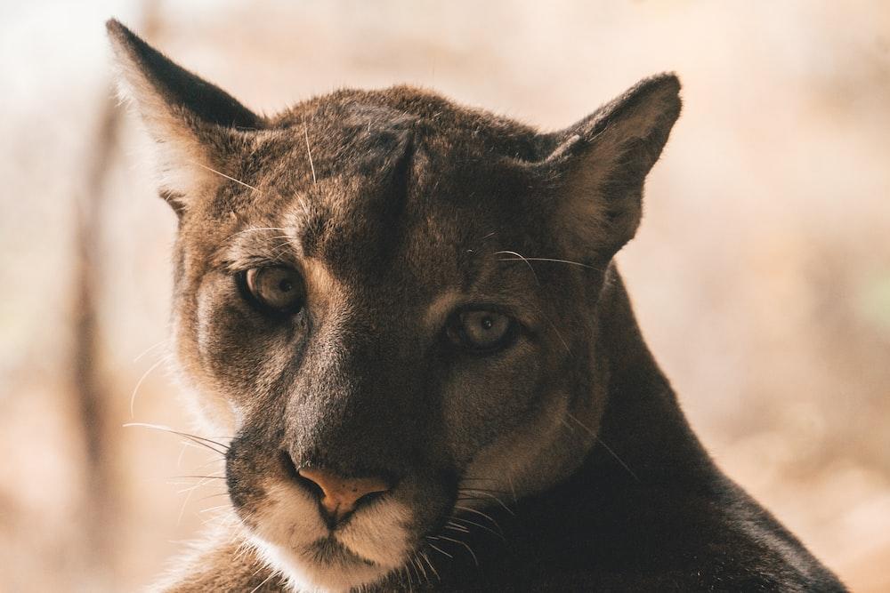 adult brown tiger