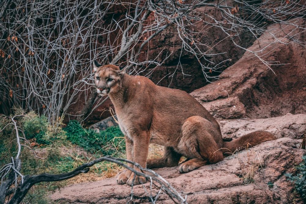 brown cougar sitting on rock ledge