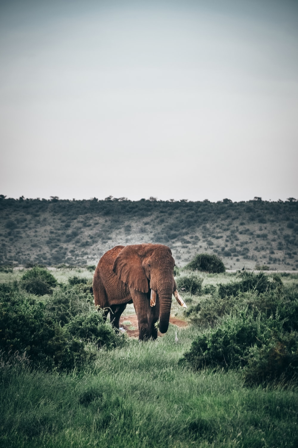 brown elephant grazing in middle of green field