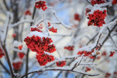 red berry fruits covered with snow