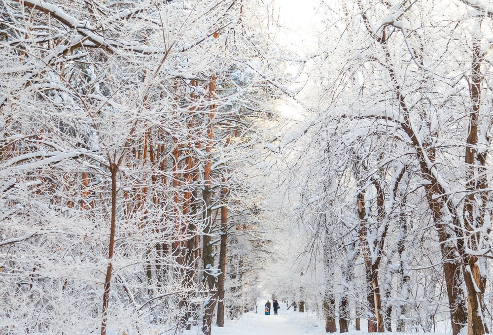 snow covered bare trees during daytime