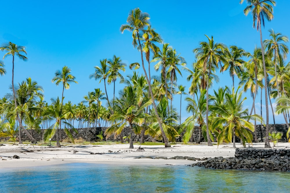 coconut trees and body of water