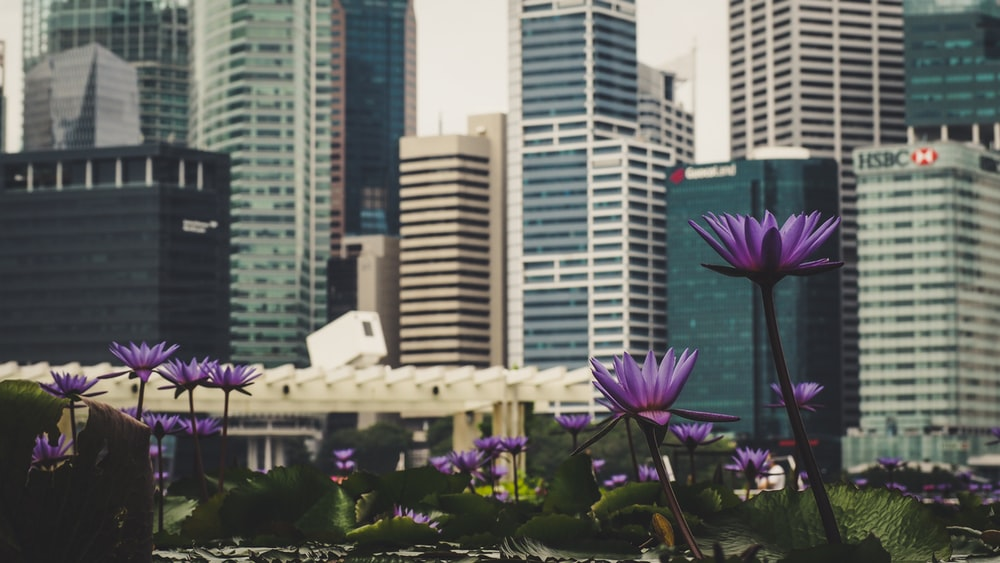 purple flower field near high-rise buildings during daytime