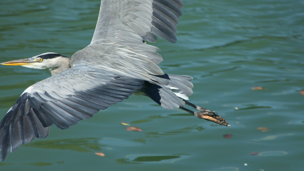 black and gray bird flying over body of water during daytime