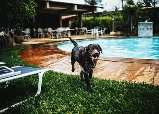 black dog near pool and blue sun lounger