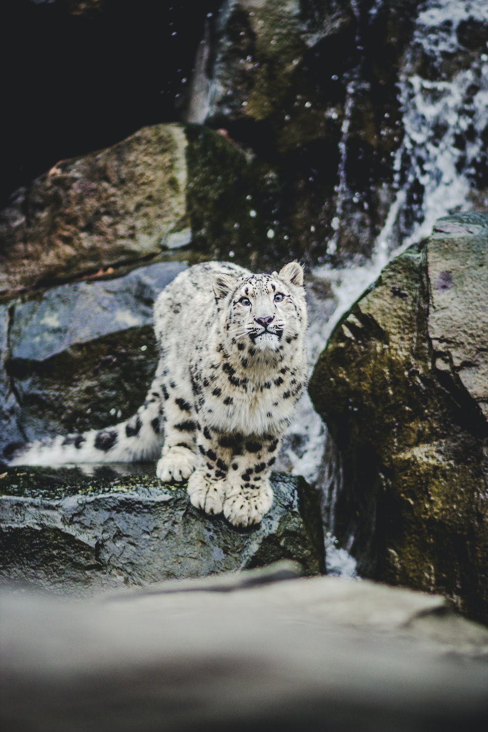 shallow focus photo of snow leopard