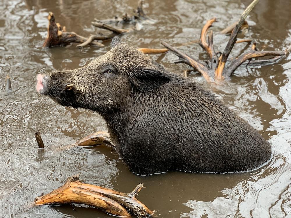 wild boar on swallow waters
