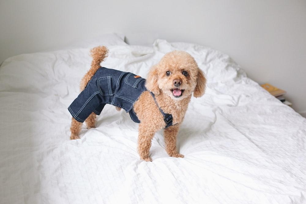 short-coated tan dog wearing denim pants standing on bed