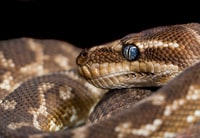 brown and gray snake with blue eyes
