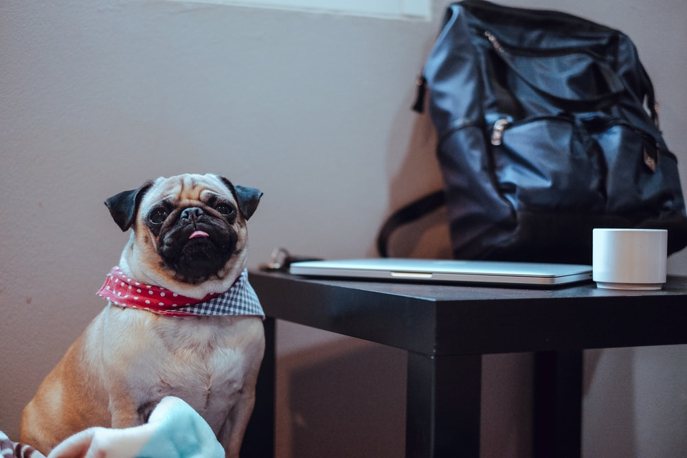 sitting adult fawn pug beside table