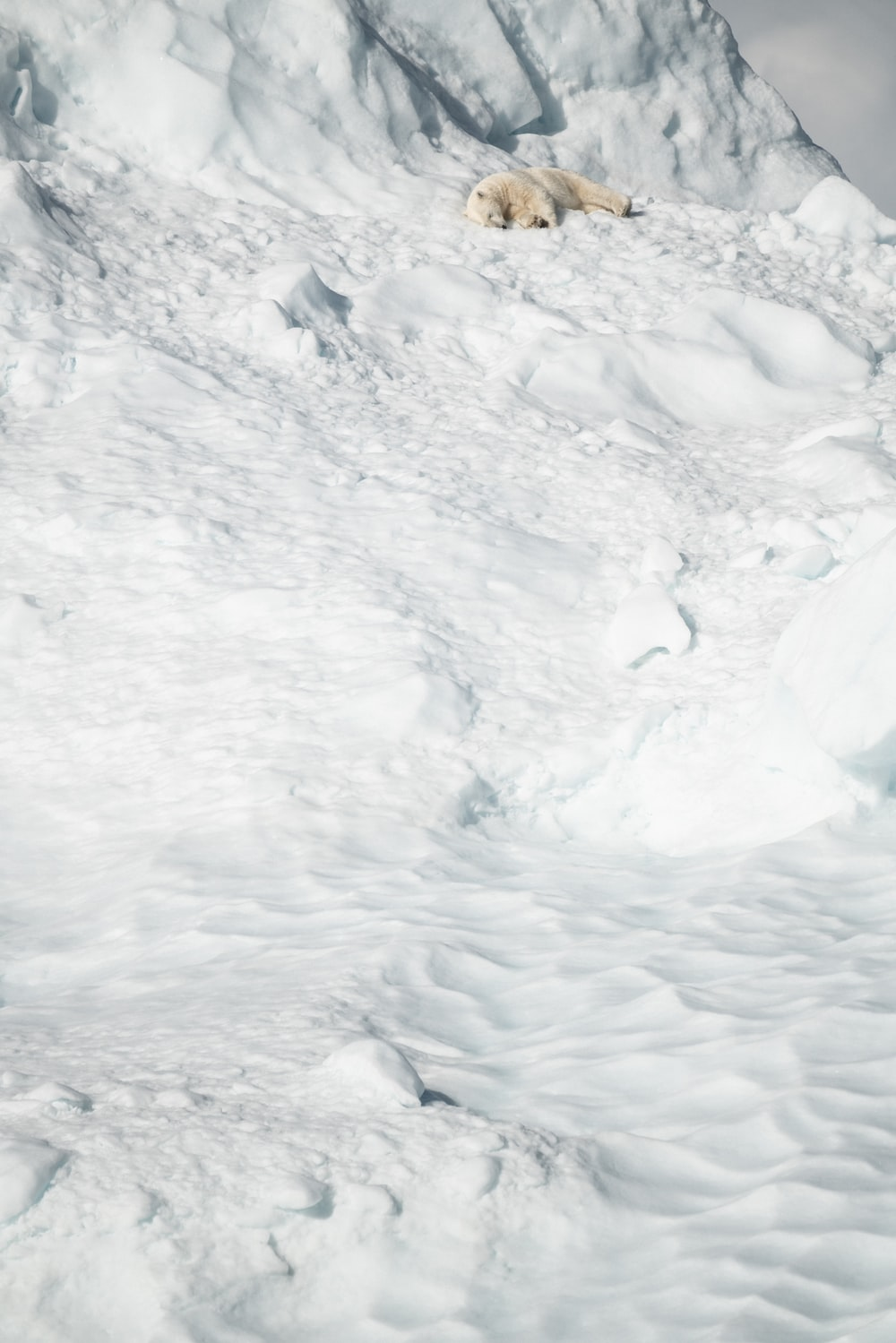 polar bear lying on snow