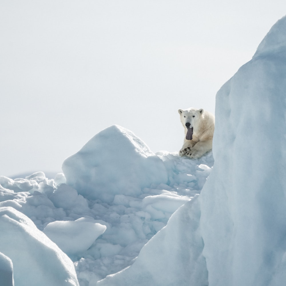 white polar bear on top of glacier
