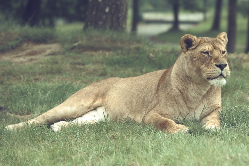 lioness lying on grass field