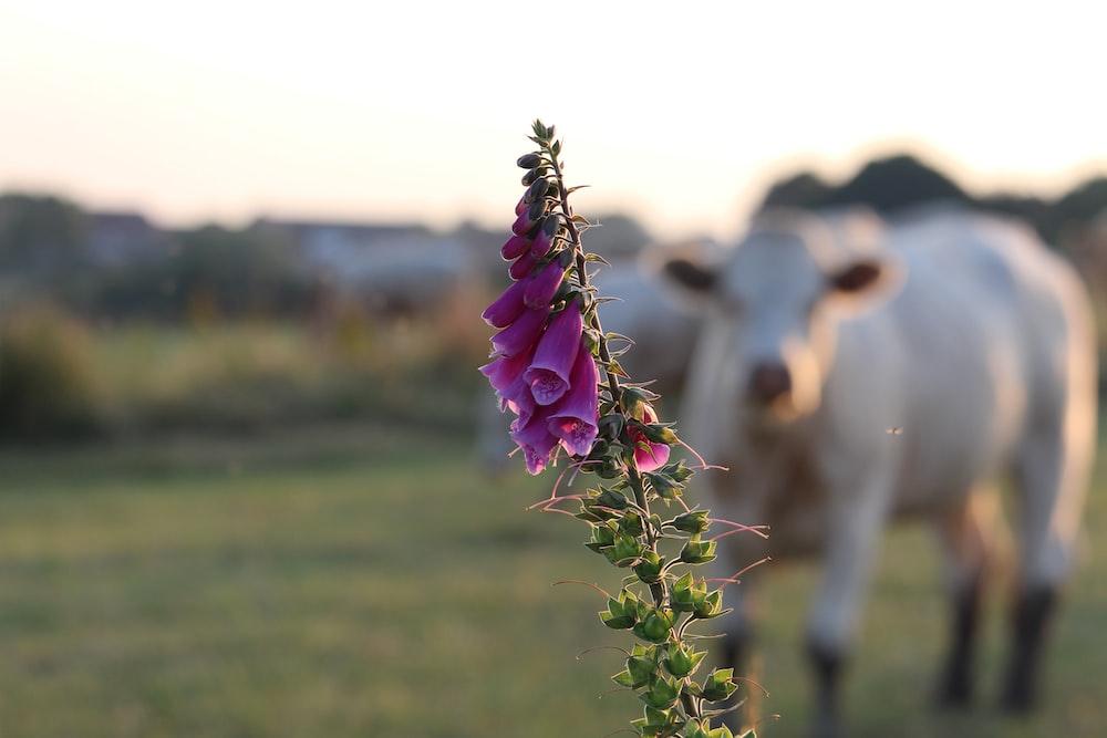 white cattle near flower
