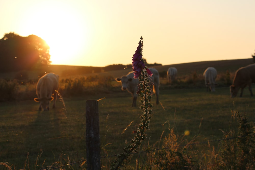 selective focus photography of pink flower near field with cattles during daytime