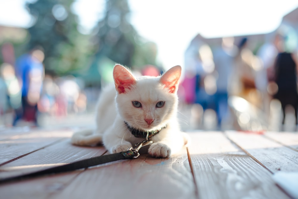 selective focus of white cat on wooden floor