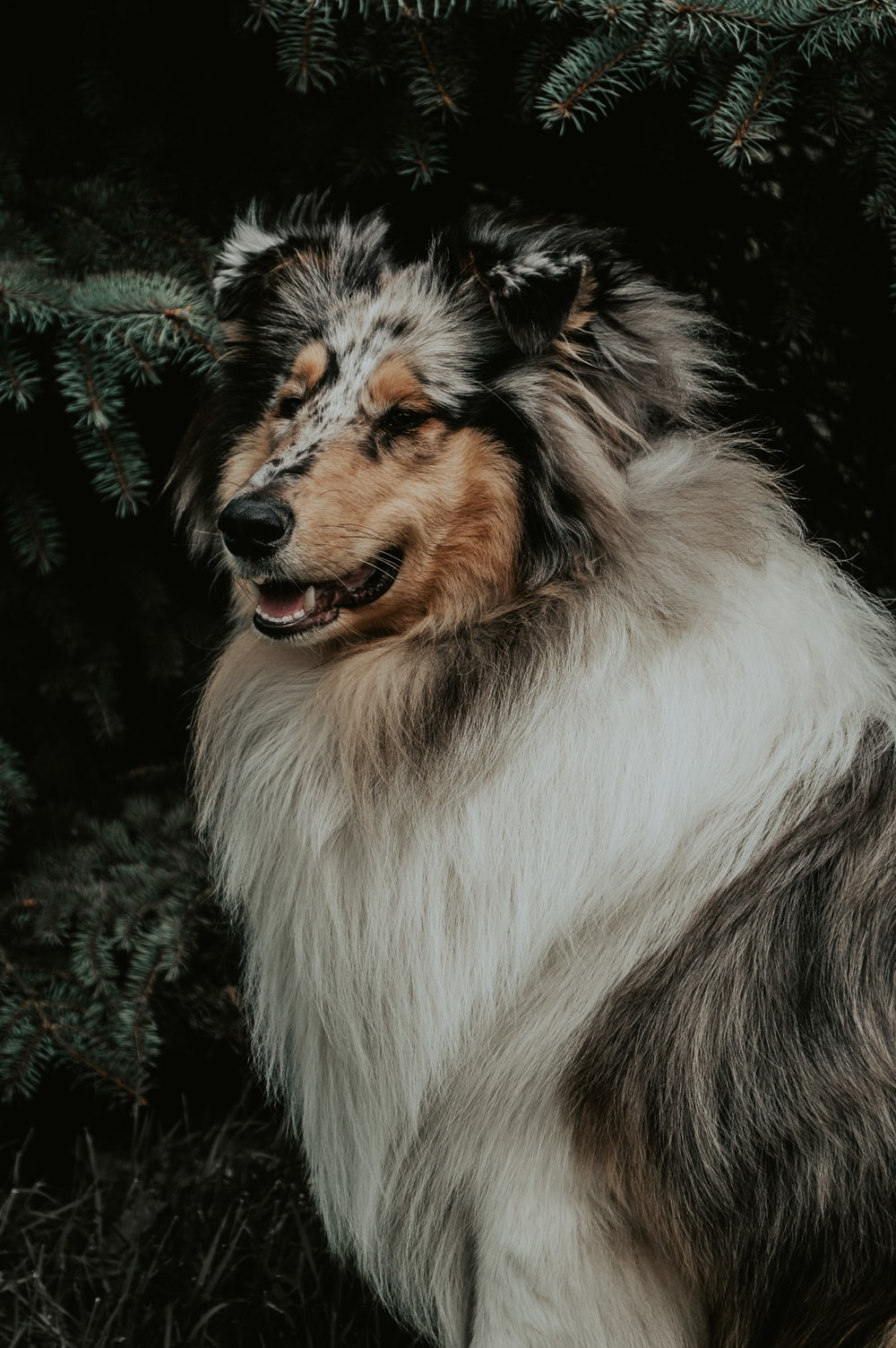 long-coated white, brown, and black dog