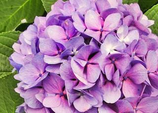 purple hydrangeas flower in closeup photo