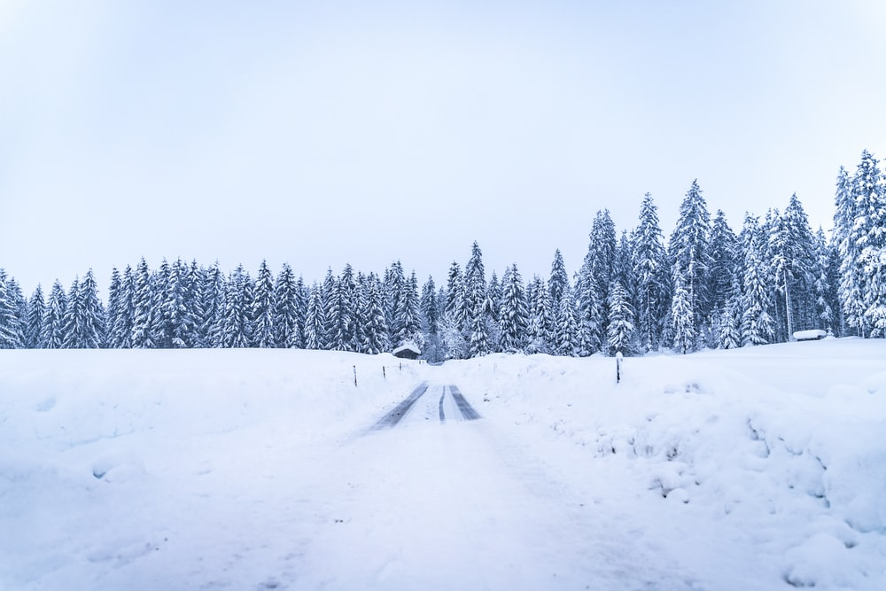 pine trees covered with snow between land and white sky
